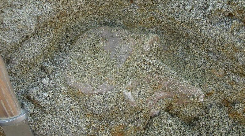 Позвонок плезиозавра на месте находки