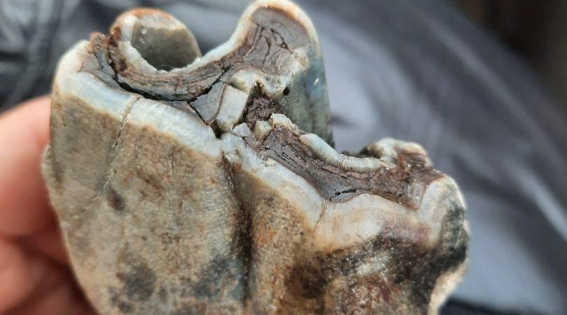 Зуб носорога1